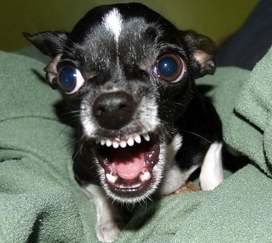 отличные зубы у чихуахуа