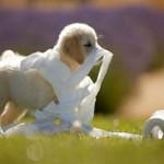 обучаем щенка проситься на улицу