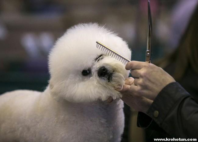 bichon-grooming