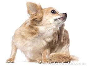 Дерматит у собак: блошиный и атопический