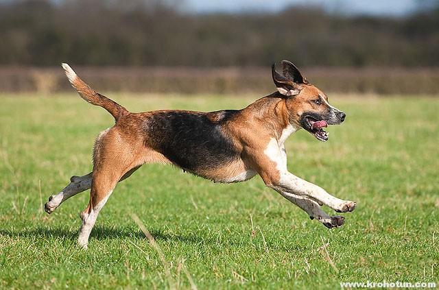 english-foxhound2