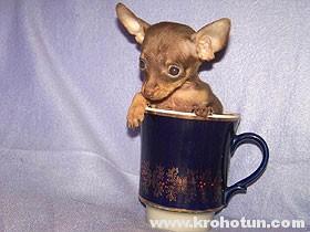 Фото русского той терьера - собачки из чайной чашки