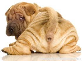 Параанальные железы у собак: проблемы и решения