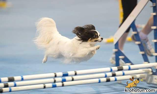 Порода собак папильон: особенности выбора и воспитания