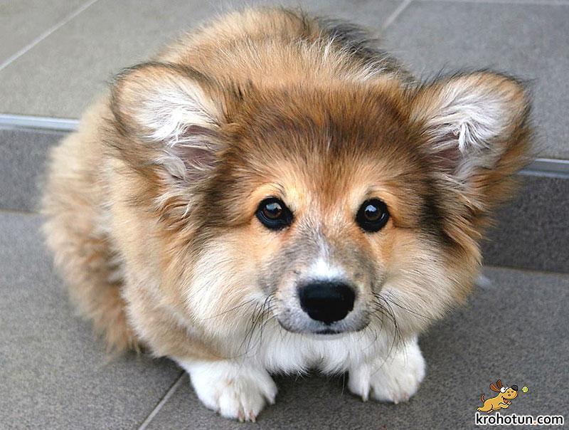 corgi-pembroke-fluffy