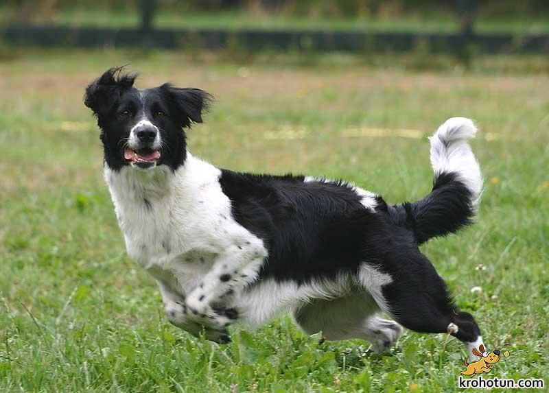 border-collie6