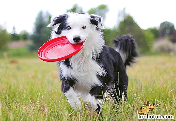 border-collie8