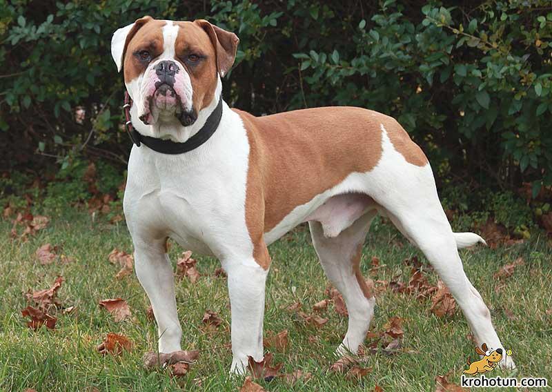 amerikanskiy-bulldog