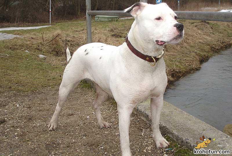 amerikanskiy-bulldog2