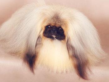 роскошная шерсть пекинеса