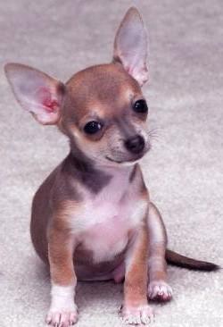 короткошерстный пес
