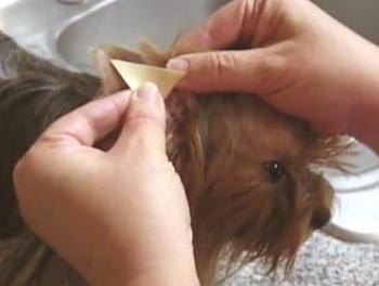 Чем чистить уши йорка в домашних условиях 539